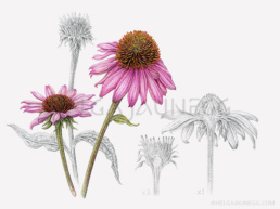 Echinacea Purpurea Illustration