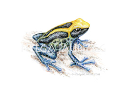 Baumsteigerfrosch Illustration